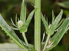 Teasel. Copyright Peter Drury 2010<br /> Two young flower heads emerging on stalks from the main stem.