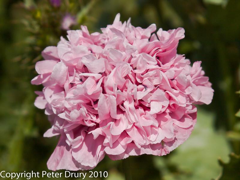 Opium Poppy (Papaver somniferum) 'Double flowered'). Flower head. Copyright Peter Drury 2010