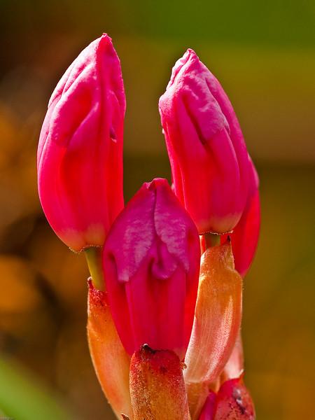 Rhodedendron Buds