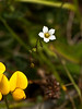 Fairy Flax (Linum catharticum)