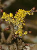 Xanthoria parietina. Copyright Peter Drury 2010<br /> Lichen seen growing on Hawthorn