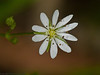 27 May 2011. Water Chickweed at Creech Wood. Copyright Peter Drury 2011