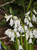 09 April 2011. White form Bluebell at Hilsea Lakes.  Copyright Peter Drury 2011