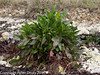 06 March 2011. Sea beet. Copyright Peter Drury 2011<br /> Many clumps of this plant can be found along the shoreline, The sea beet is the wild ancestor of common vegetables such as beetroot, sugar beet, and Swiss chard. Its leaves have a pleasant texture and taste when served raw or cooked, and because of this it also known as wild spinach.