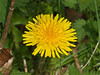 10 April 2011. Dandelion at Queen Elizabeth Country Park.  Copyright Peter Drury 2011