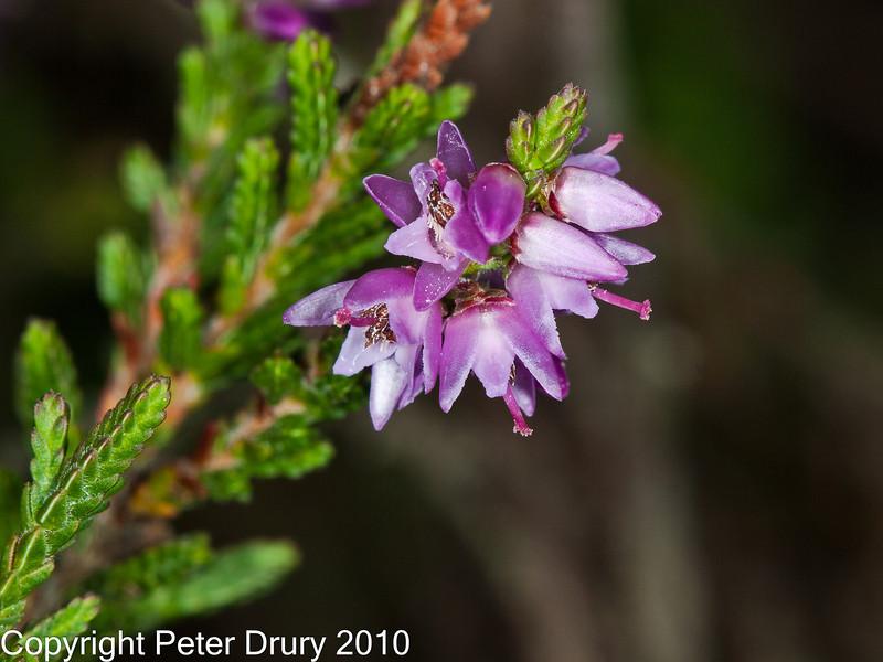 25 Sep 2010 - Common  Heather (Calluna vulgaris). Copyright Peter Drury 2010