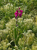 25 May 2011. Eastern Gladiolus at Milton Common, Langstone Harbour shoreline. Copyright Peter Drury 2011