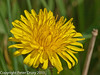 21 March 2011. Dandelion (Taraxacum officinale).  Copyright Peter Drury 2011