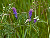 Tufted Vetch (Vicia cracca) Copyright 2009 Peter Drury