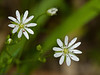 27 May 2011. Water Chickweed (Myosoton aquaticum) at Creech Wood. Copyright Peter Drury 2011