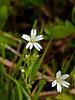Greater Stitchwort (Stellaria holostea)