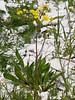 28 April 2011. Beaked Hawksbeard (Crepis vesicaria) at the Chalk Quarry. Copyright Peter Drury 2011