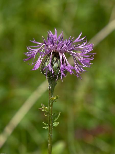 Greater Knapweed (Centaurea scabiosa)