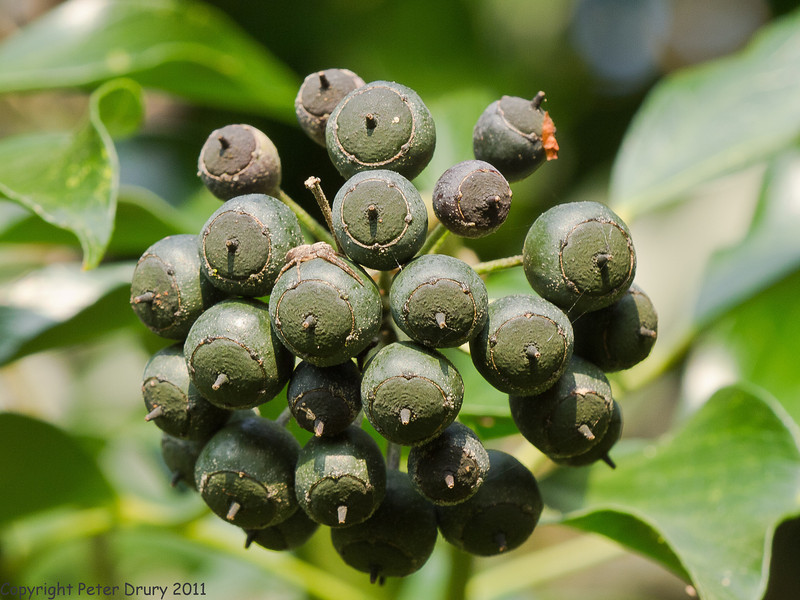 17 April 2011. Ivy berries at Widley. Note the hunting spider in wait on one of the berries. Copyright Peter Drury 2011