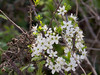 18 April 2011. Blackthorn (prunus spinosa) at the Oysterbeds.  Copyright Peter Drury 2011