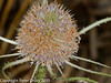 Teasel. Copyright Peter Drury 2010<br /> Late flowering stage. Only the top and bottom extremes are now blossoming.
