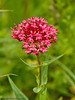 24 Jun 2011. Red Valerian (Centranthus ruber) at the Chalk Quarry. Copyright Peter Drury 2011