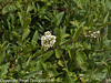 Wild Privit (Ligustrum vulgare). Copyright Peter Drury 2010