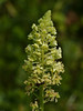 Wild Mignonette (Reseda lutea). A fragrant herbaceous plant, native to the Mediterranean region and southwest Asia, These are now found on Portsdown Hill where they have well seeded and are abundant. Copyright Peter Drury 2010