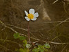 Water-crowfoot (Ranunculus aquatalis) - also known as Water Buttercup. This is a good water oxygenator. Copyright Peter Drury 2010