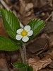 10 April 2011. Wild Strawberry at Queen Elizabeth Country Park.  Copyright Peter Drury 2011