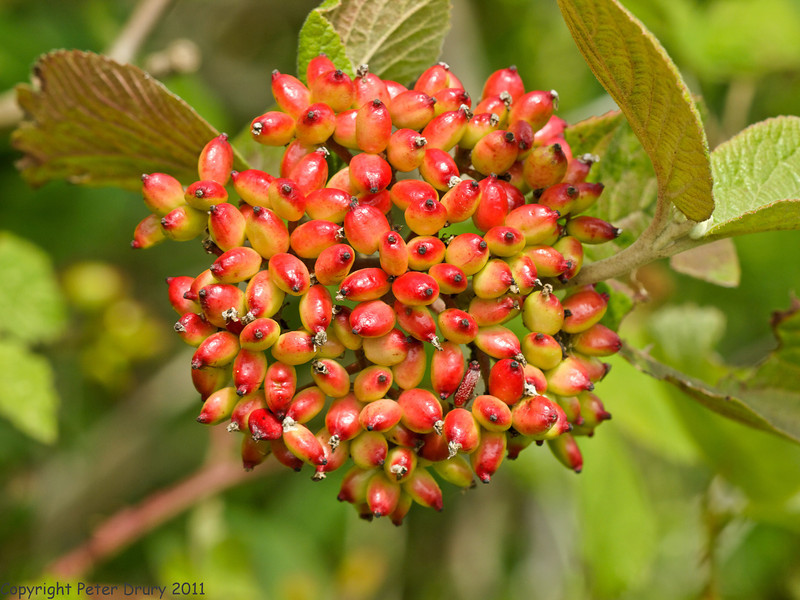 24 Jun 2011. Wayfiaring Tree (Viburnum lantana) at the Chalk Quarry. Copyright Peter Drury 2011