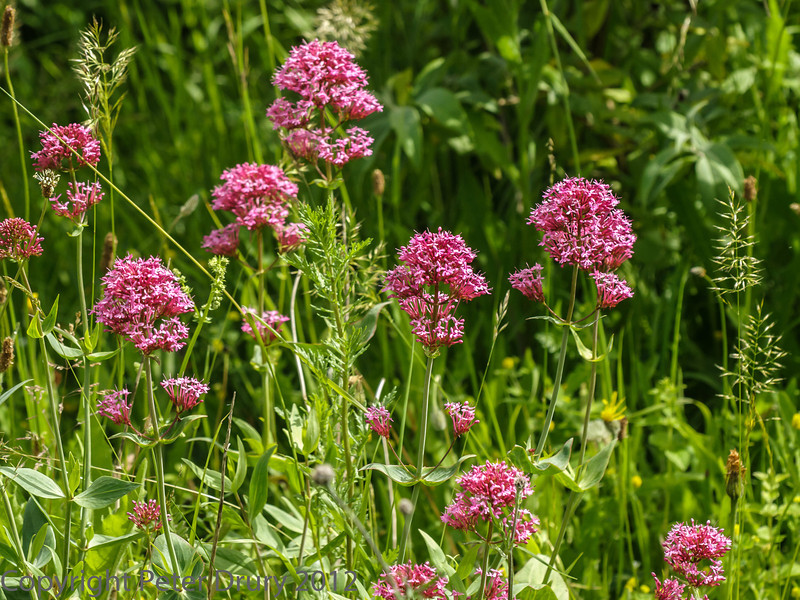 28 June 2012 Red Valerian at Portchester Common.