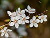 21 March 2011. Cherry plum - (Prunus cerasifera) Blossom.  Copyright Peter Drury 2011