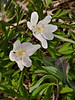 Wood anemone (Anemone nemorosa). Copyright Peter Drury 2010<br /> Early spring flowering plant often seen in woodland clearings. They spread on underground root like stems and can quickly create large clumps. They are odourless and without nectar.