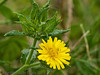 19 Sep 2011 Bristly oxtongue (Picris echioidesat) Plant Farm