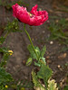 Opium Poppy (Papaver somniferum). Copyright 2009 Peter Drury