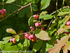 07 Oct 2010 - European Spindle (Euonymus europaeus). Copyright Peter Drury 2010