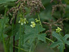 White bryony (Bryonia cretica subsp. dioica)
