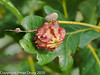 27 Aug 2010 - Knopper Gall caused by the Gall Wasp - Andricus quercuscalicis. Copyright Peter Drury 2010
