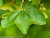 Galls on a leaf. Copyright Peter Drury 2010
