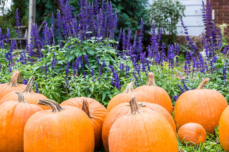 Pumpkins in Purple Flowers