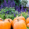 Pumpkins in Purple Flowers