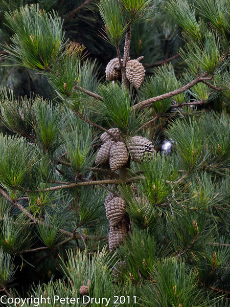 06 March 2011. Monterey Pines (Pinus radiata). Copyright Peter Drury 2011