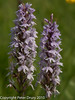 Common Spotted Orchid (Dactylorhiza fuchsii)<br /> .  Copyright Peter Drury 2010