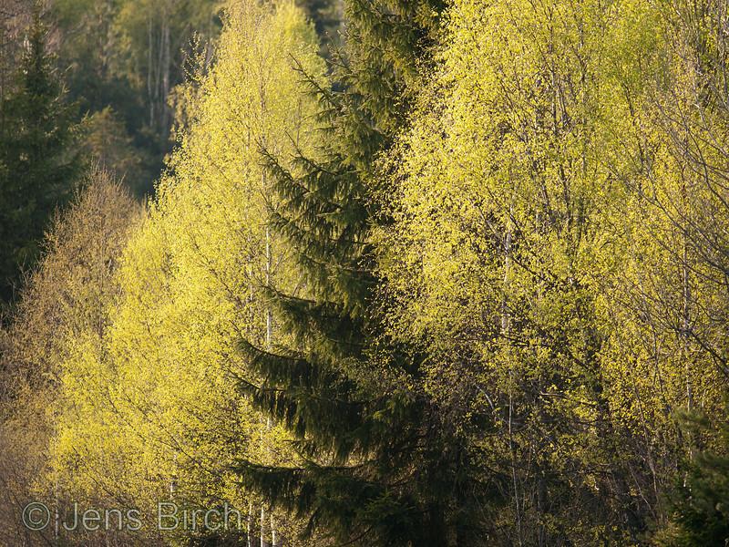 Spring is winning! <br /> <br /> Ljungby april 25 2011 (Crop)