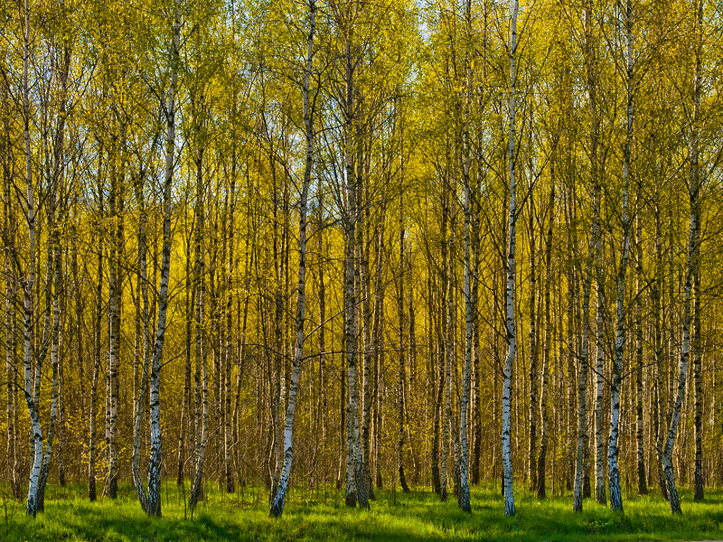 Springbirch.<br /> <br /> Olseröd, April 25, 2011