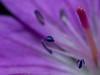 <b>Cranesbill flower</b> (<i>Geranium sylvaticum</i>) (midsommarblomster)  <p>Taken with an OMZ 35/2.8 + Vivitar 2x macro teleconverter (magnification ~2:1 at f/8)