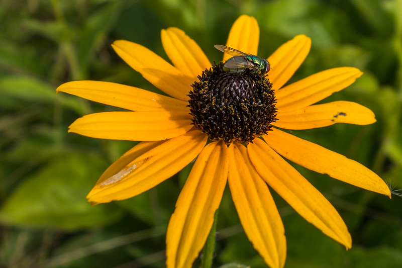 Fly and black-eyed Susan