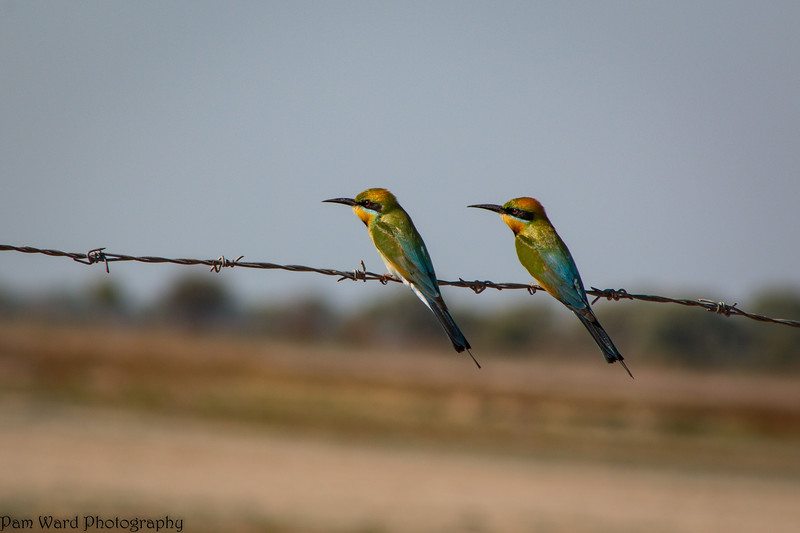 Rainbow Bee Eaters