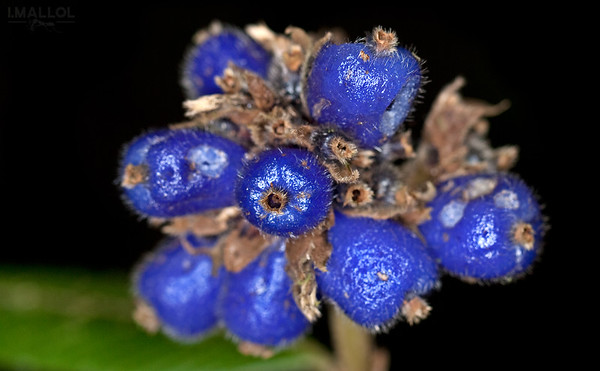 Intense blue fruits