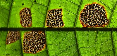 Leaf Vs. Necrosis