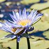Violet Waterlilies