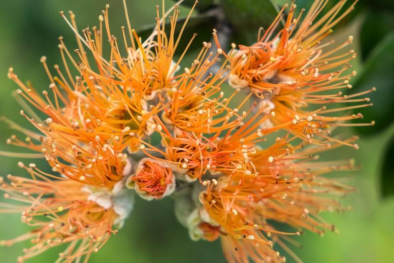 Rare orange Ohia lehua blossom