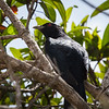 Common Koel