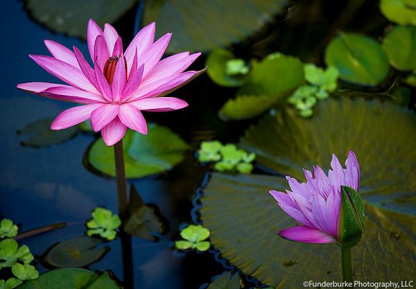 Lotus Flowers, Hoi An, Vietnam